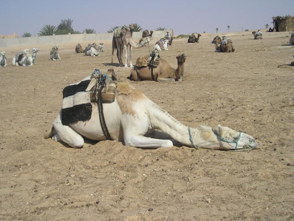 Le chameau au repos (2014)